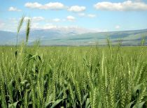 Wheat in HaHula Israel