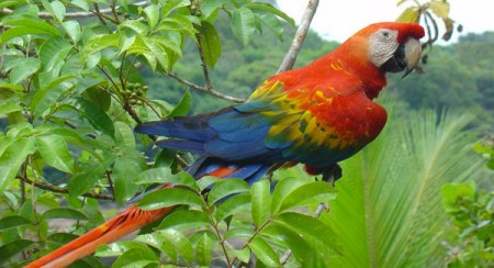 Amazonian parrot